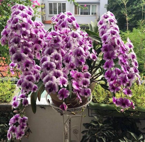 Hoa lan dendro yaya