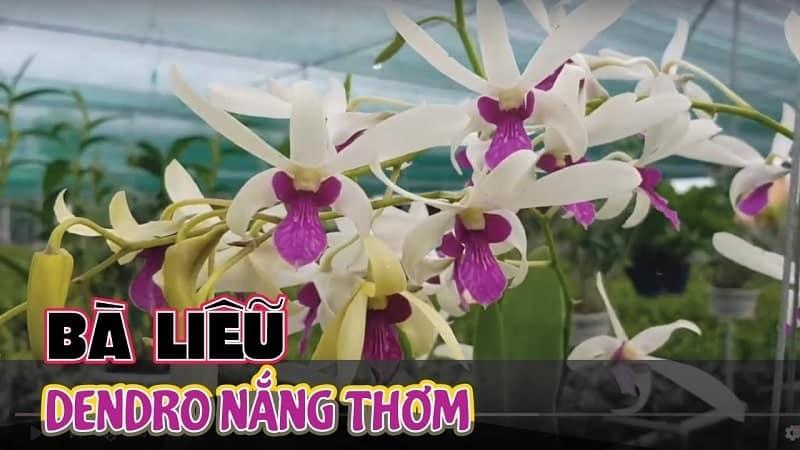 mặt hoa đa dạng Lan dendro nắng trắng bà liễu hoa đẹp