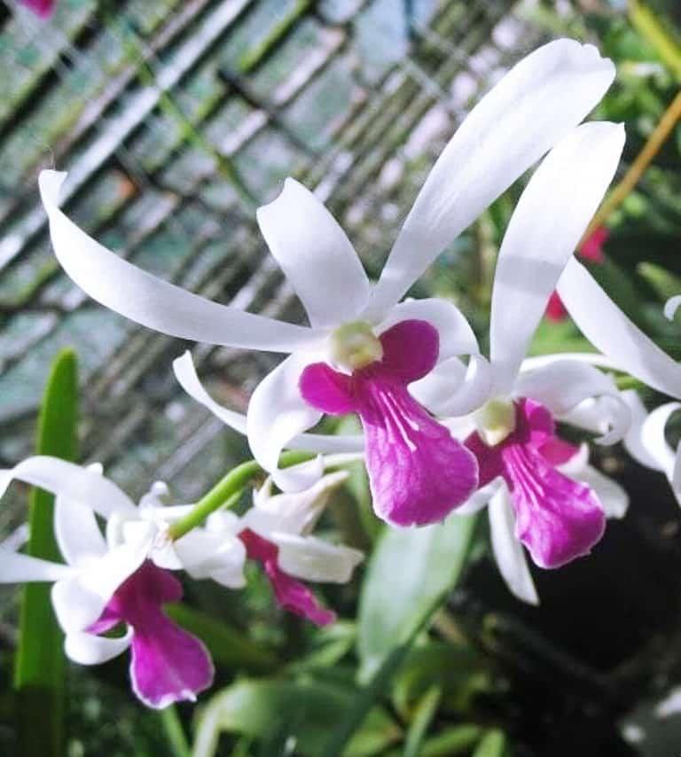 Lan dendro nắng trắng bà liễu hoa đẹp