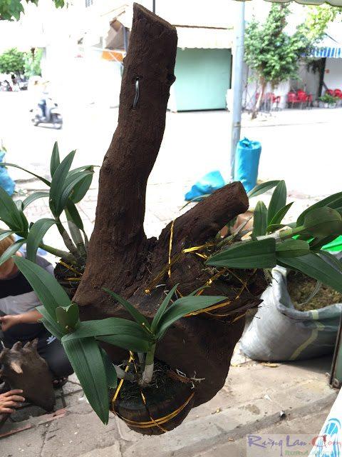 cây lan phát triển trên thân gỗ