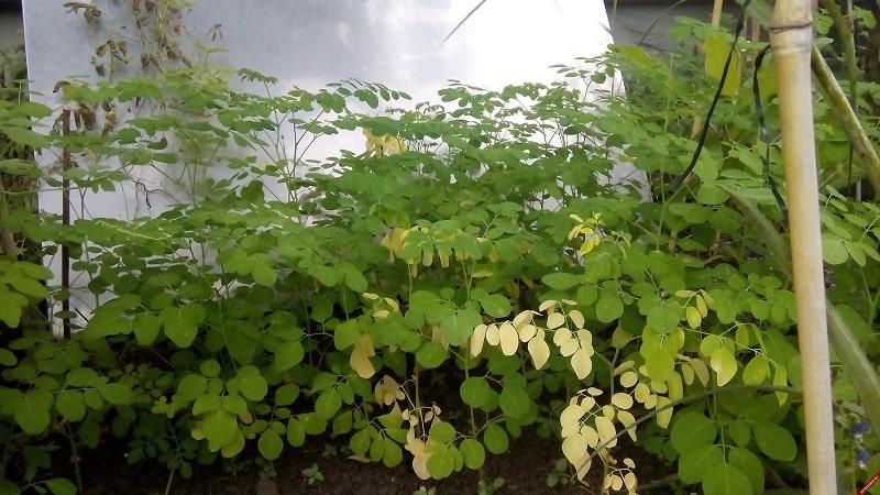 Các biện pháp phòng ngừa bệnh vàng lá trên cây chùm ngây