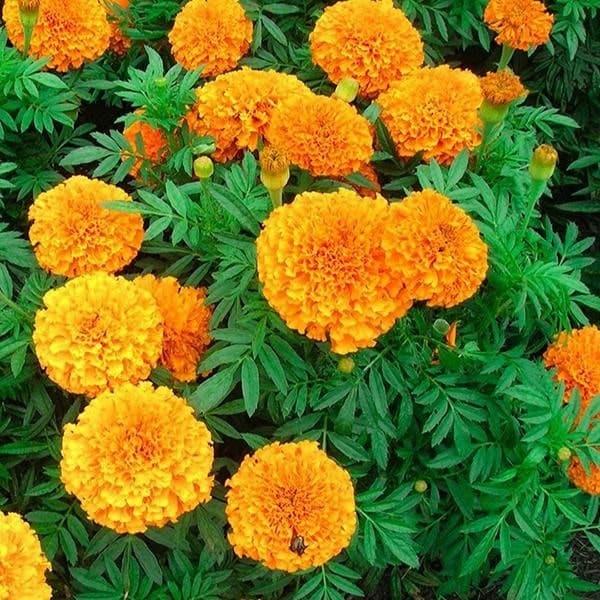chăm sóc hoa cúc vạn thọ
