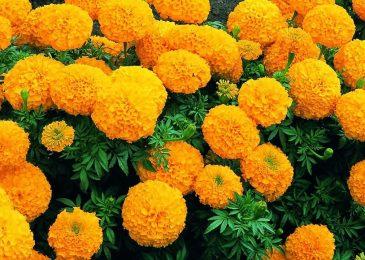 hoa cúc ạn thọ