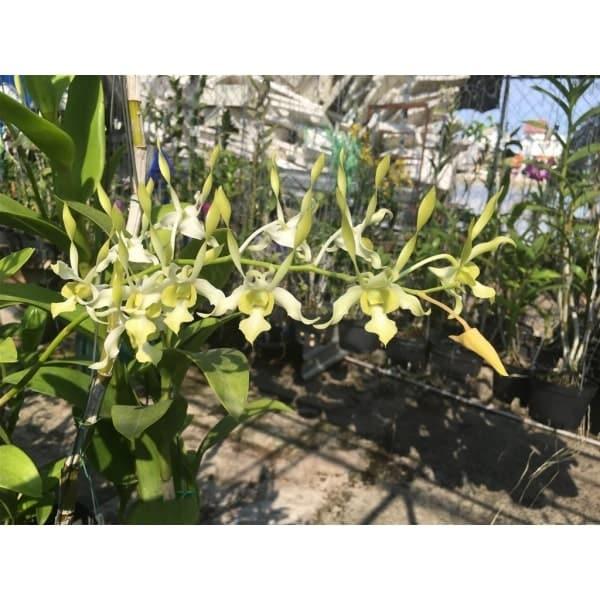 Hoa lan dendro xanh