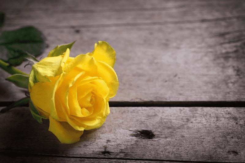 Hoa hồng vàng tặng Ba mẹ