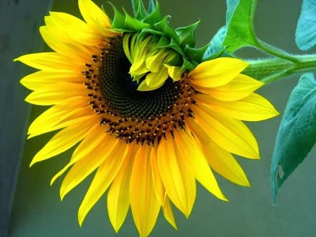 Cách trồng hoa hướng dương đơn giản tại nhà