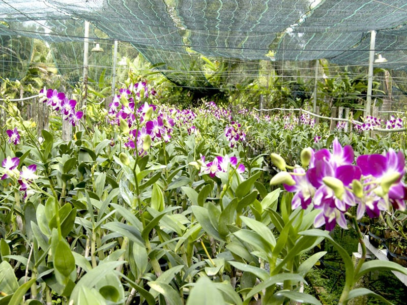 khu vườn Lan dendro thái ra hoa nhiều