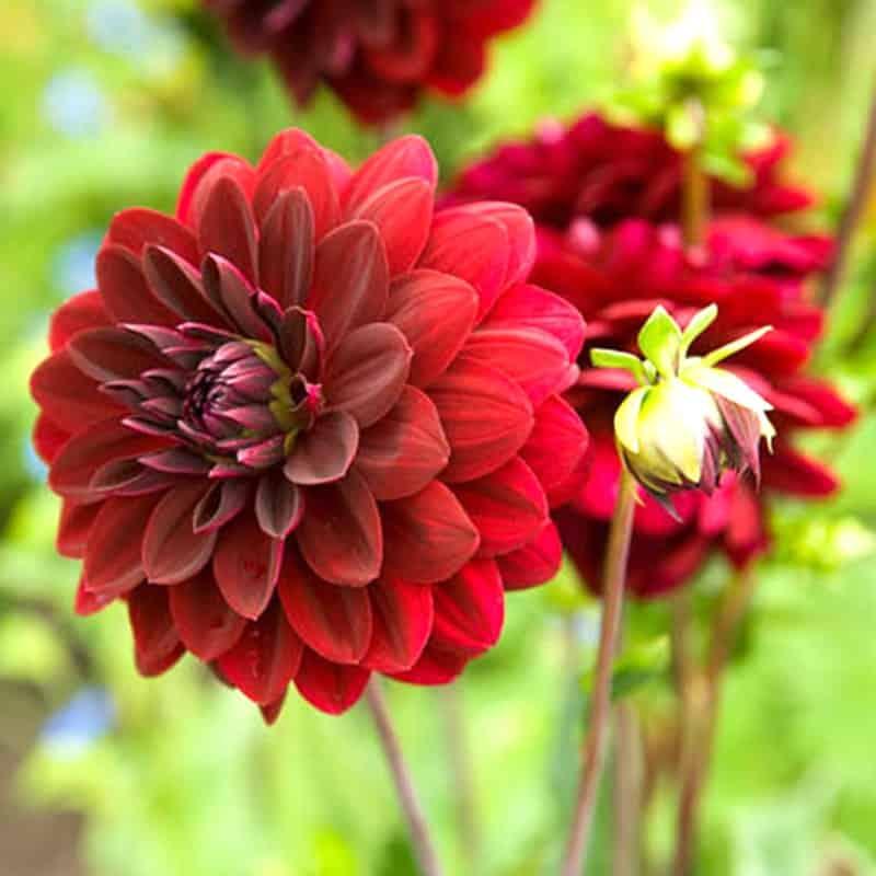 Hoa Thược Dược nhiều màu
