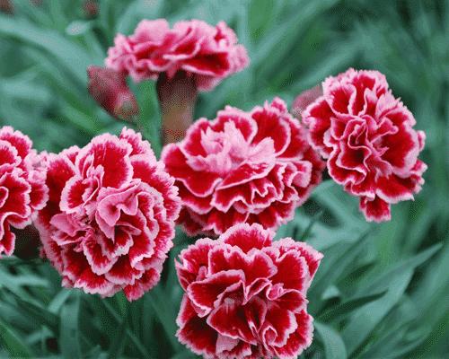 hoa cẩm chướng mang đến niềm vui cho mẹ
