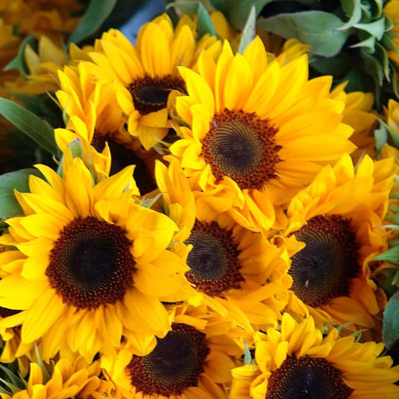 những bó hoa hướng dương tặng mẹ
