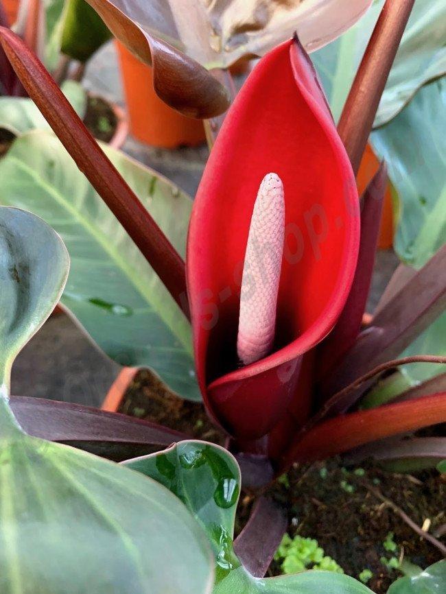 cây trầu bà đế vương đỏ ra hoa