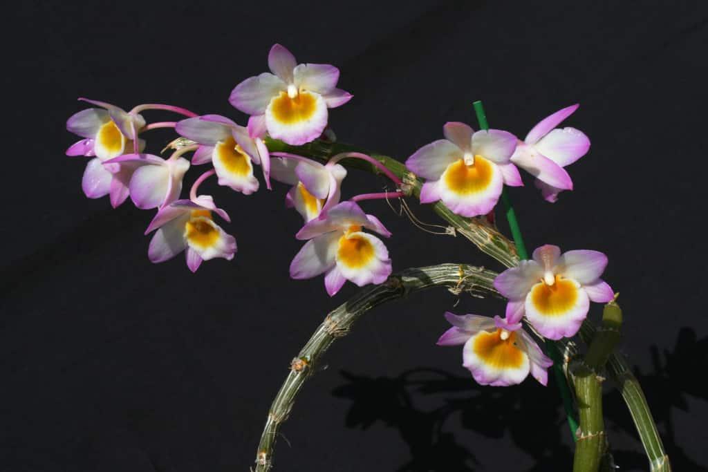 hoa lan long tu đá khoe sắc trước thiên nhiên