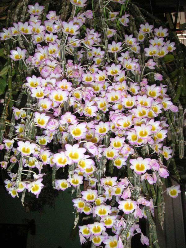 những bông hoa lan long tu đá